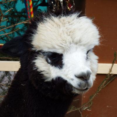 Alpaca all'esterno dei mercatini di Soprabolzano