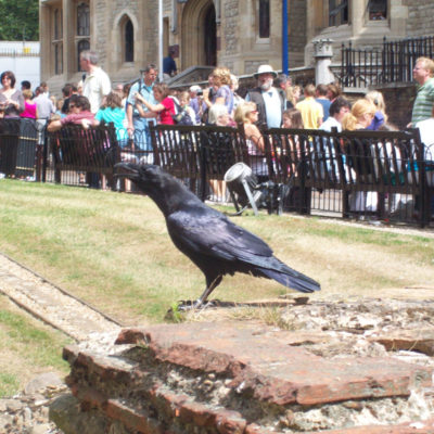 london tower the raven